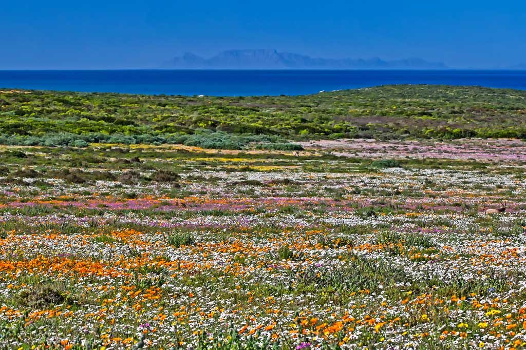 Multicoloured wildflowers in West Coast National Park