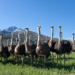 Ostriches in the Oudtshoorn district