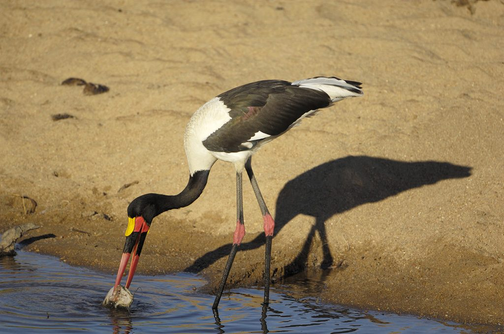 Saddle Billed Stork fishing at the sabi river