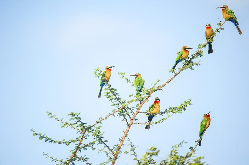White-fronted Bee-eater in a tree