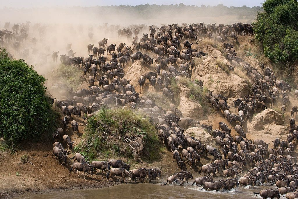 Wildebeests Mara river Great Migration