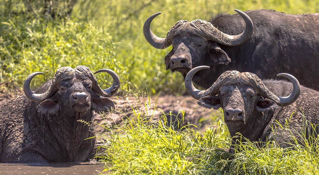 African buffalo, three male bovine bathing in waterhole in Kruger national park South Africa