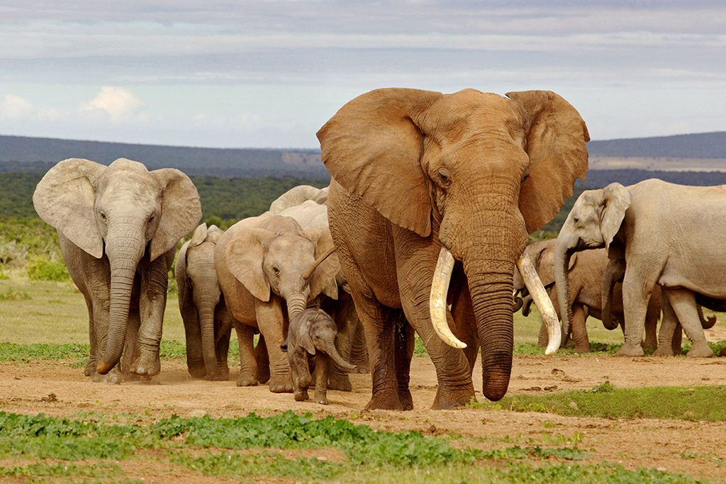 An elephant herd, led by a Magnificent 'Tusker' bull