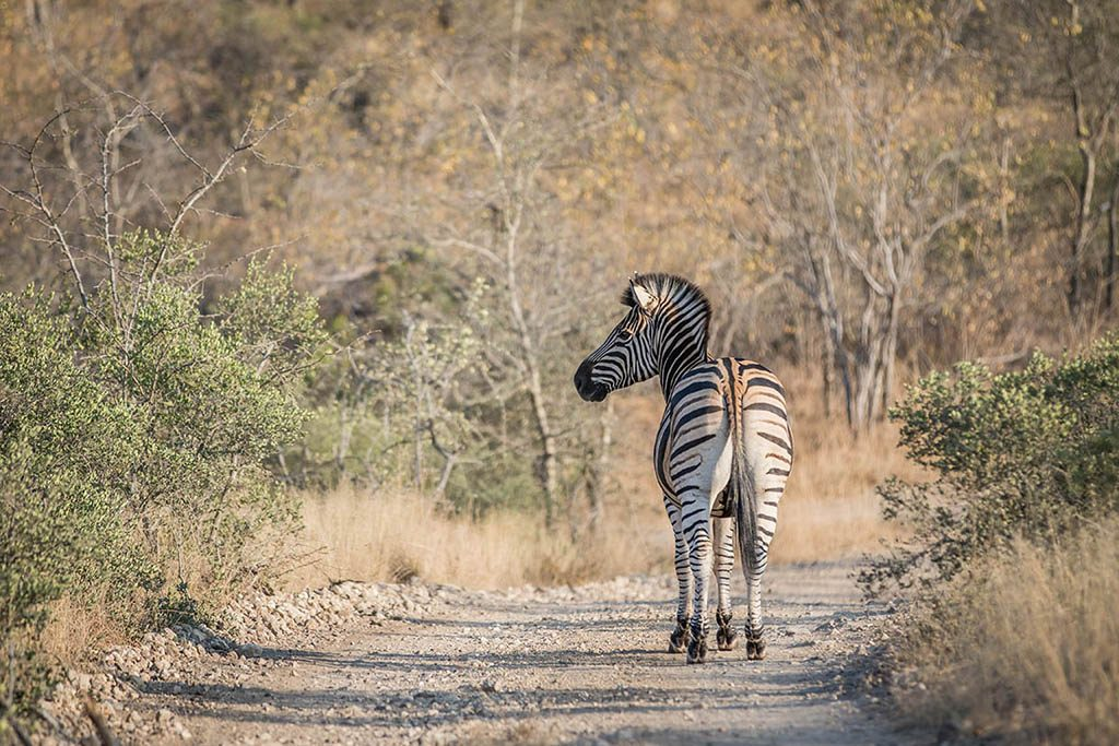 Zebra standing in the road in the Greater Kruger National Park,