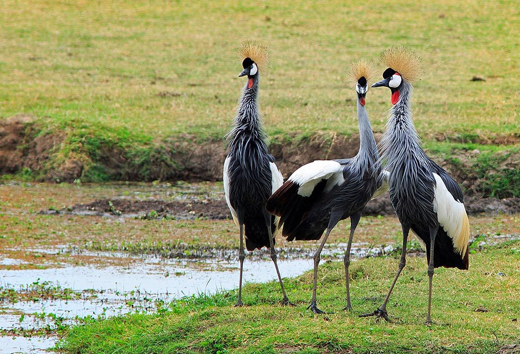 Family of Grey Crowned Crane's formerly known as crested cranes - on the open African savannah, South Luangwa