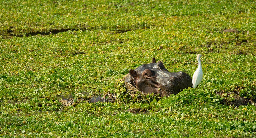 Lower Zambezi National Park, Zambia, Hippo In The Wild