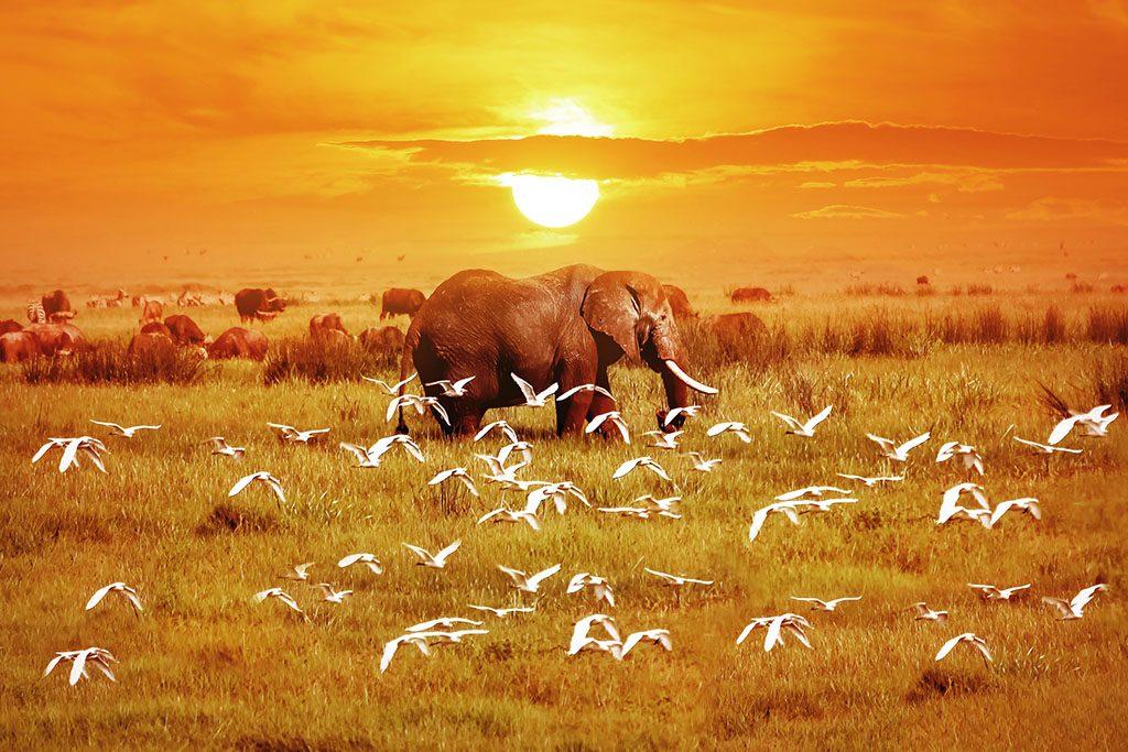African elephant and birds at sunset. Tanzania.