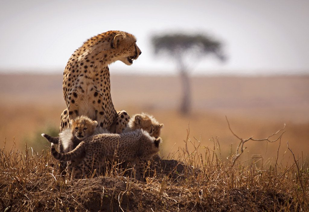 Mother cheetah surrounded by cubs