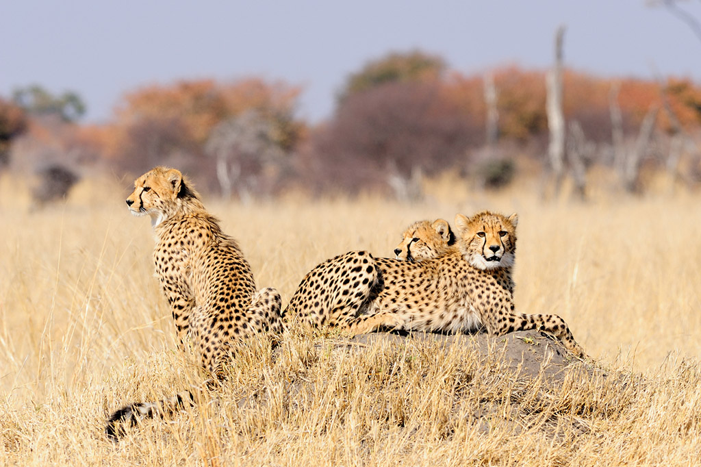 Three cheetah cubs on a termite mount surrounded by dry grass