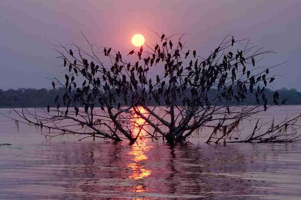Cormorant covered tree sunset