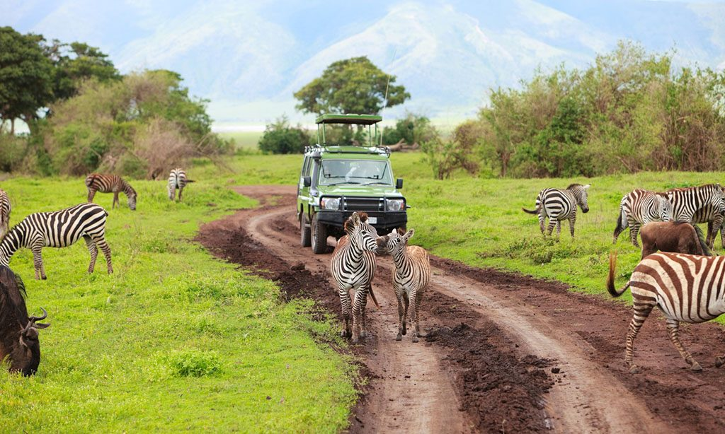 Game drive. Safari car on game drive with animals around, Ngorongoro crater