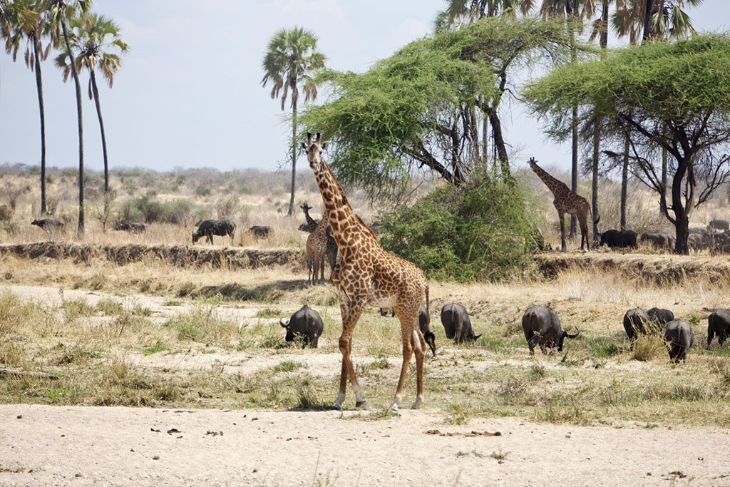 Giraffes and buffaloes in the landscape. End of dry season and the riverbed is almost dried out
