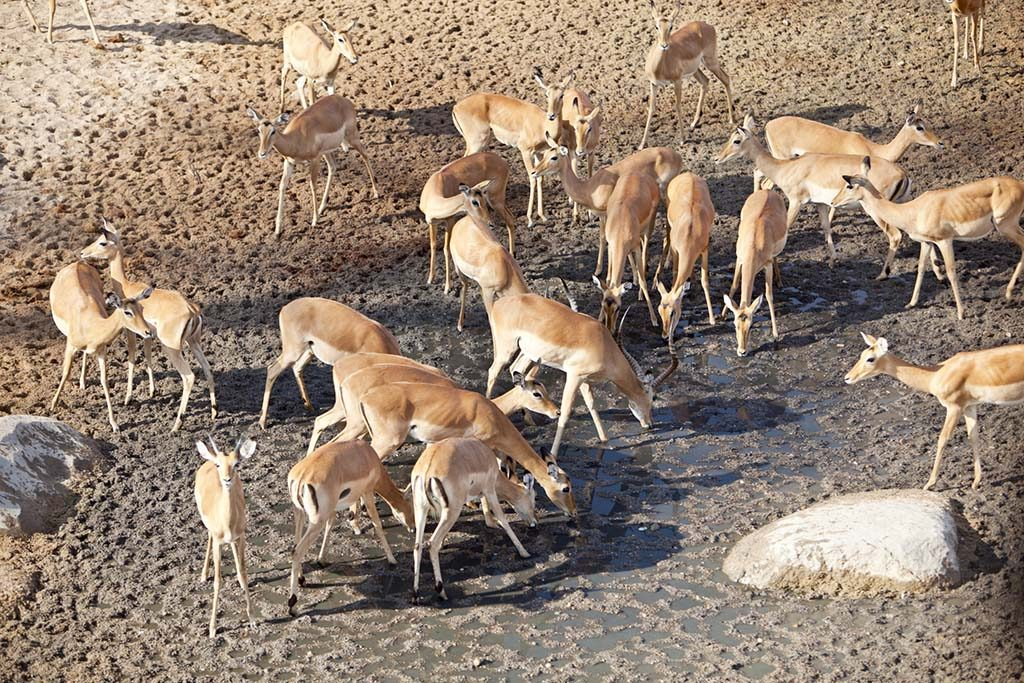 Impala antelopes drinking from an almost dry riverbed.