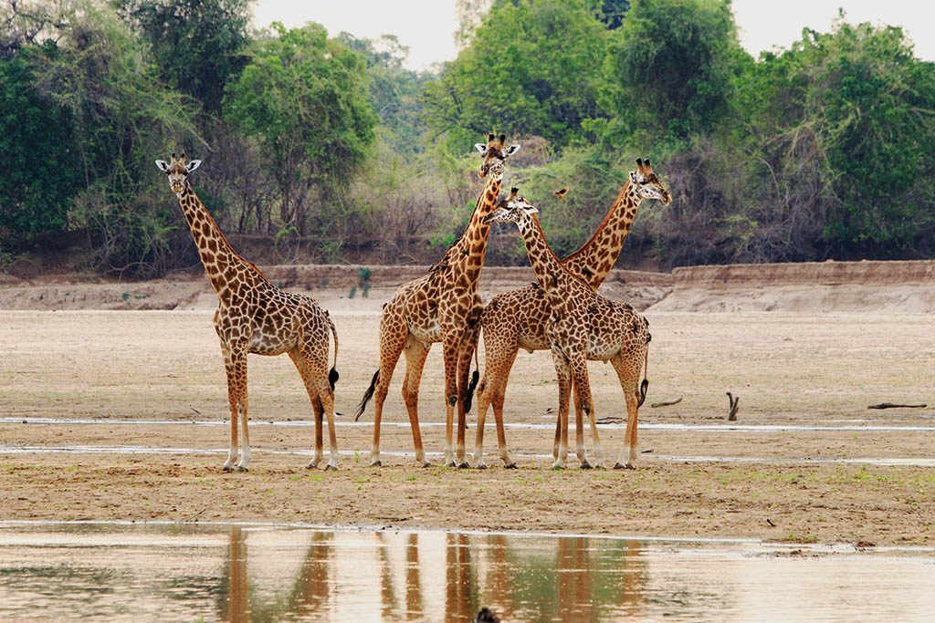 Giraffe standing on the Luangwa Riverbed, South Luangwa