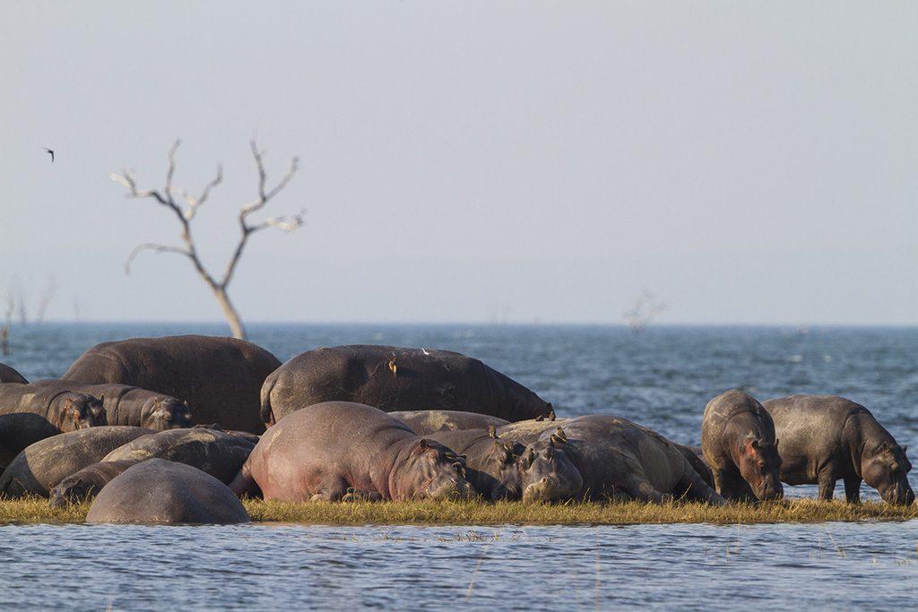 Hippopotamus pod sunbathing