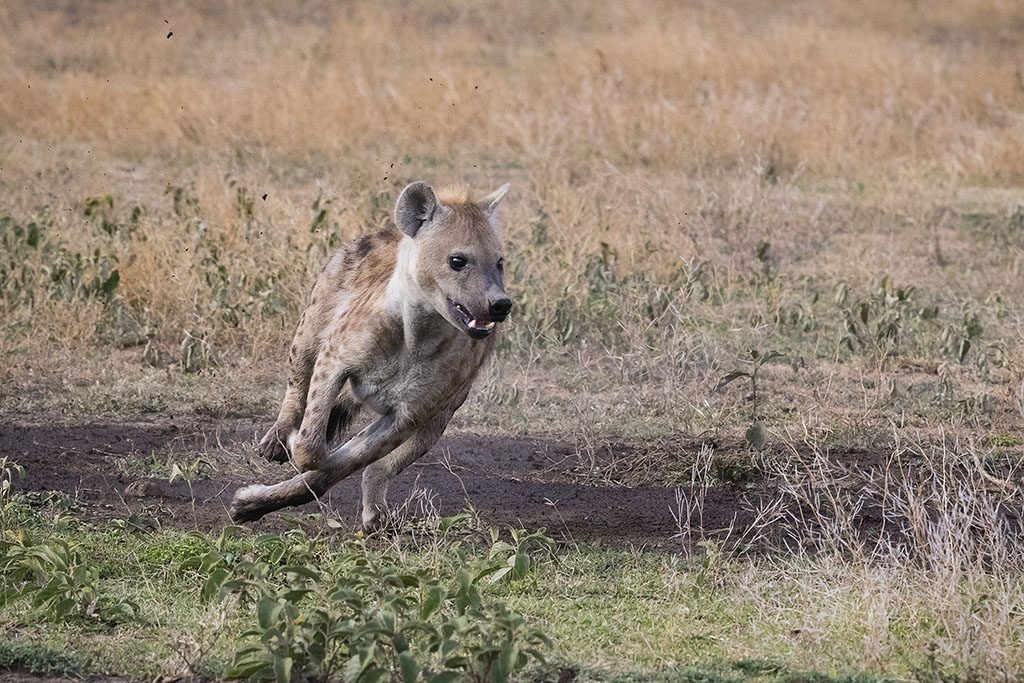 Hyena hunting in Tanzania.