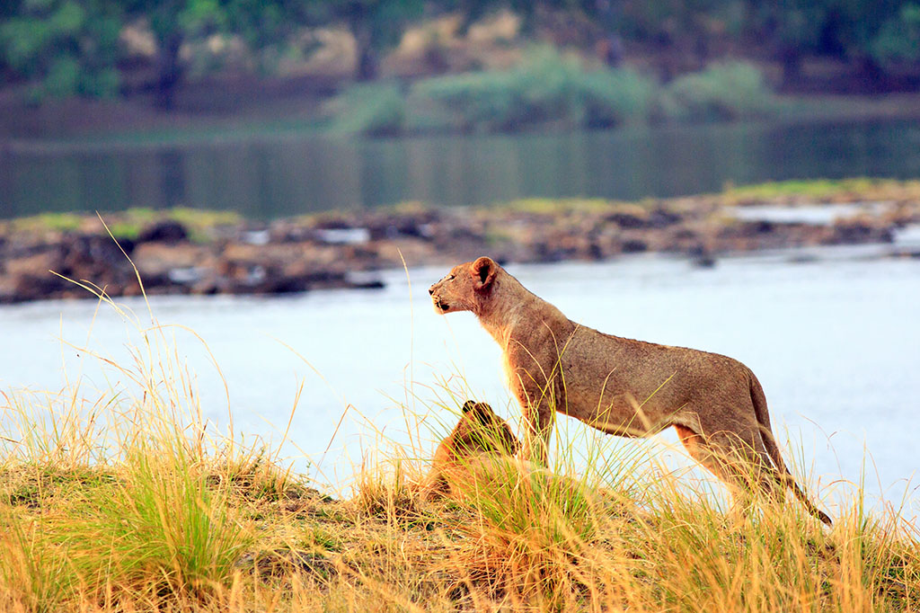 Lioness surveying the landscape in Zambezi