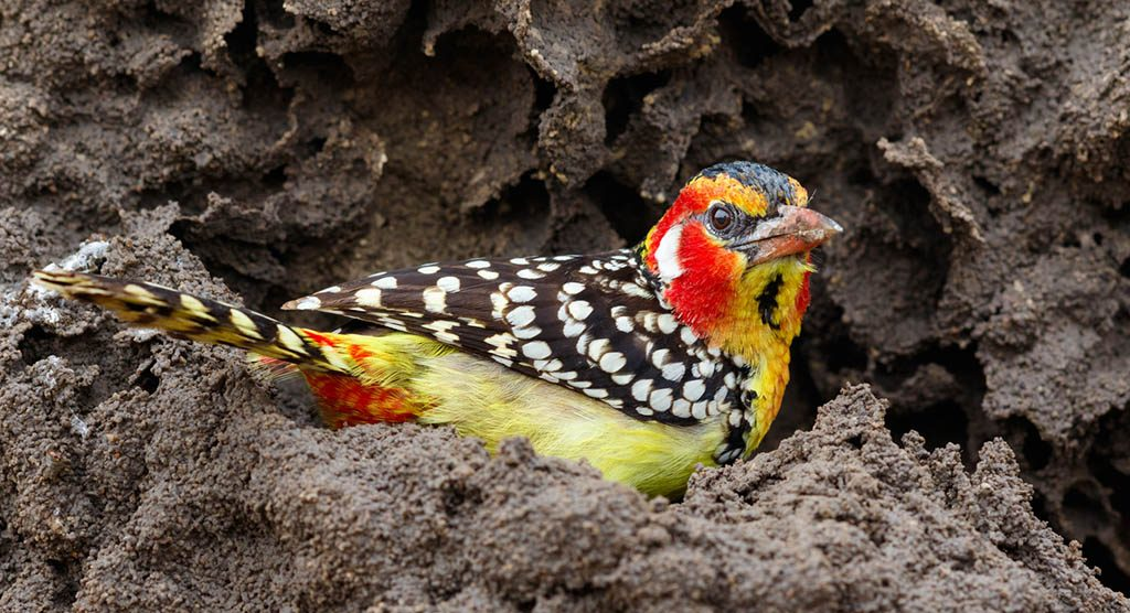 Red and Yellow Barbet on Termite Mound