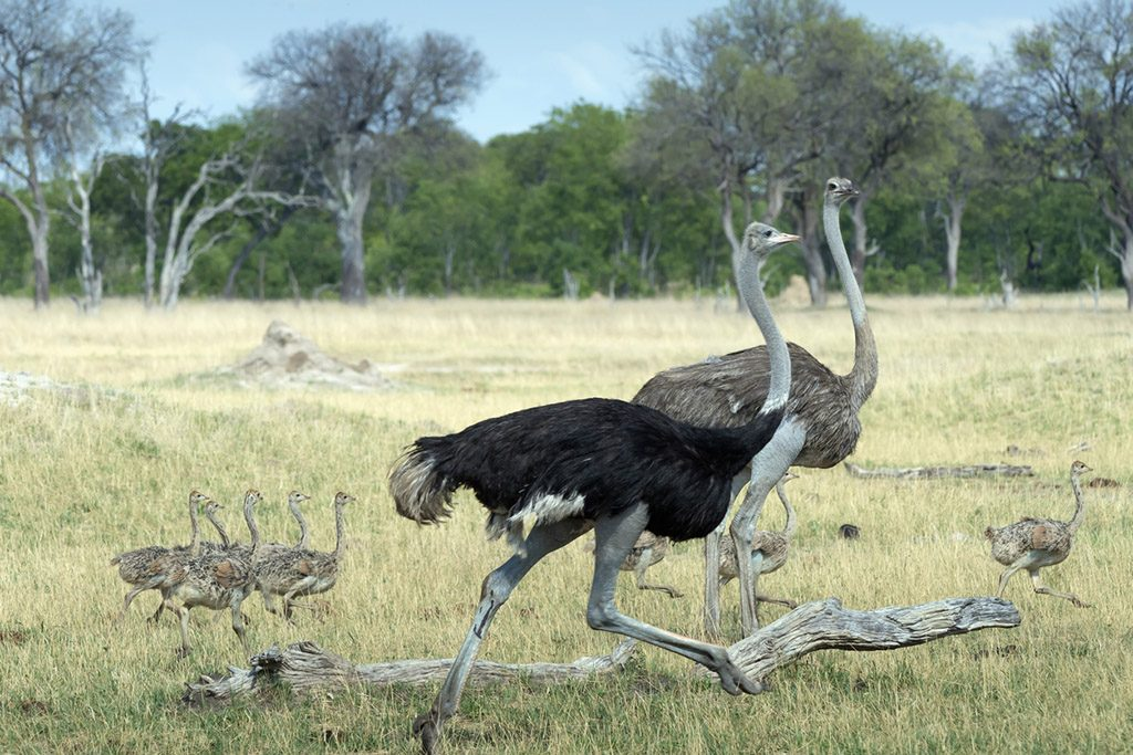 Male and female Ostrich and young