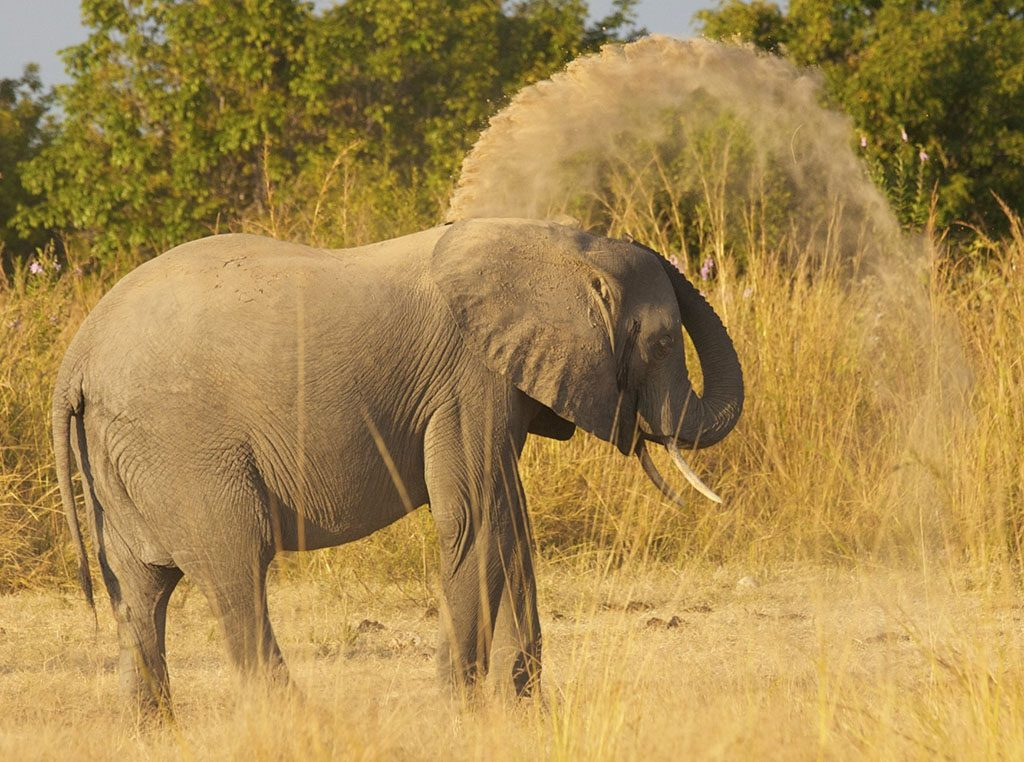 Elephant throwing sand at South Luangwa National Park, Zambia