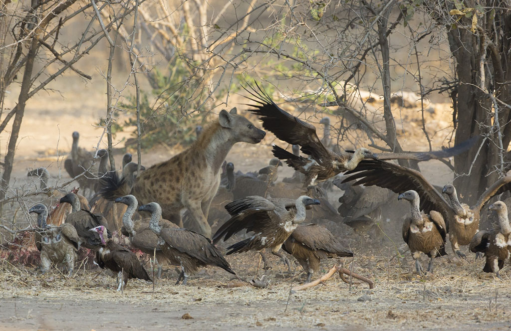 Spotted Hyena amongst White-backed Vultures chasing them off a kill