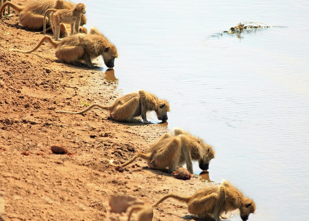 Troop of baboons with heads down drinking from the Luangwa river in Zambia