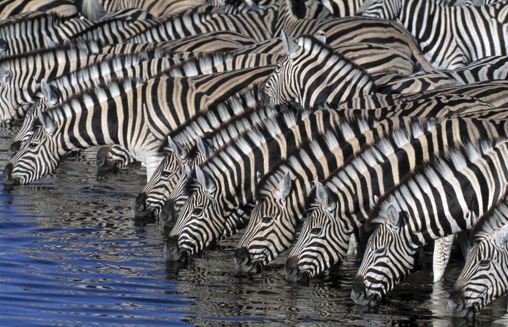 Thirsty zebras drinking