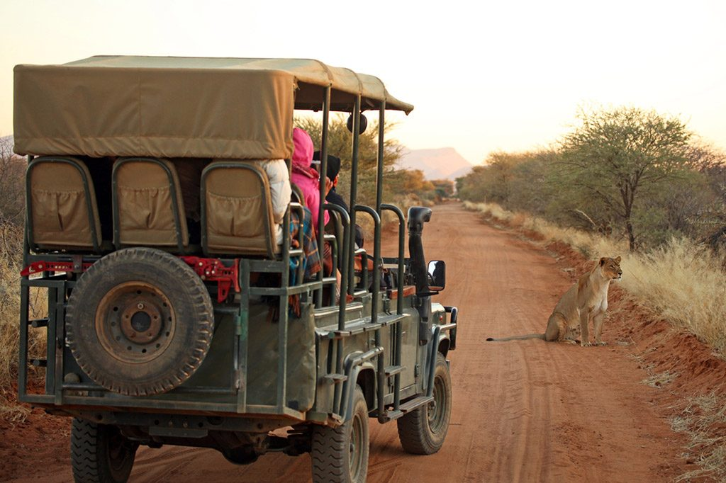 Rear view of an open safari jeep with tourists watching and photographing a lion on an early morning safari drive in Namibia.