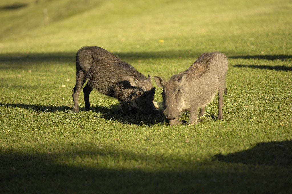 Two wardhogs at the Victoria Falls hotel