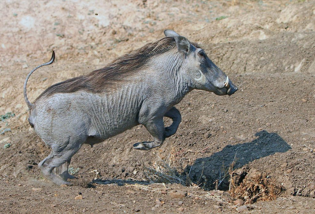 Warthog jumping over a small ditch in south Luangwa National Park