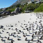 African penguins in Boulders beach