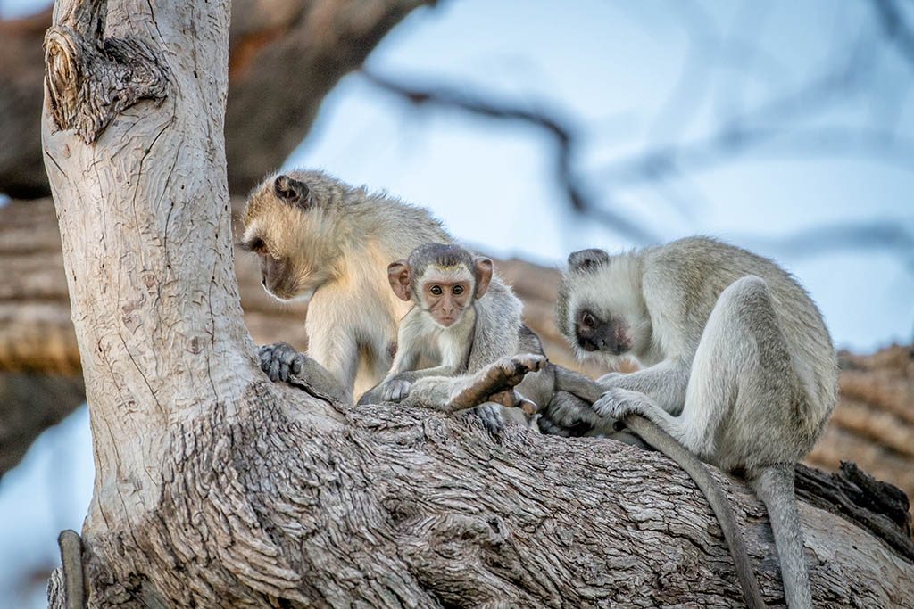 Family of Vervet monkeys sitting in a tree in the Chobe National Park,