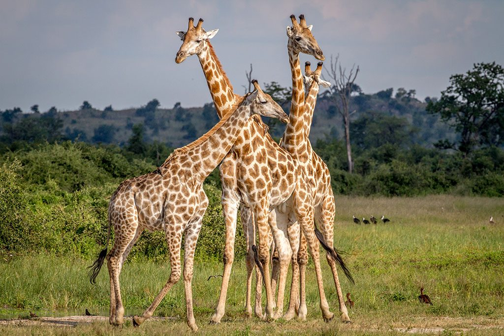 Group of Giraffes standing in the grass in the Chobe National Park