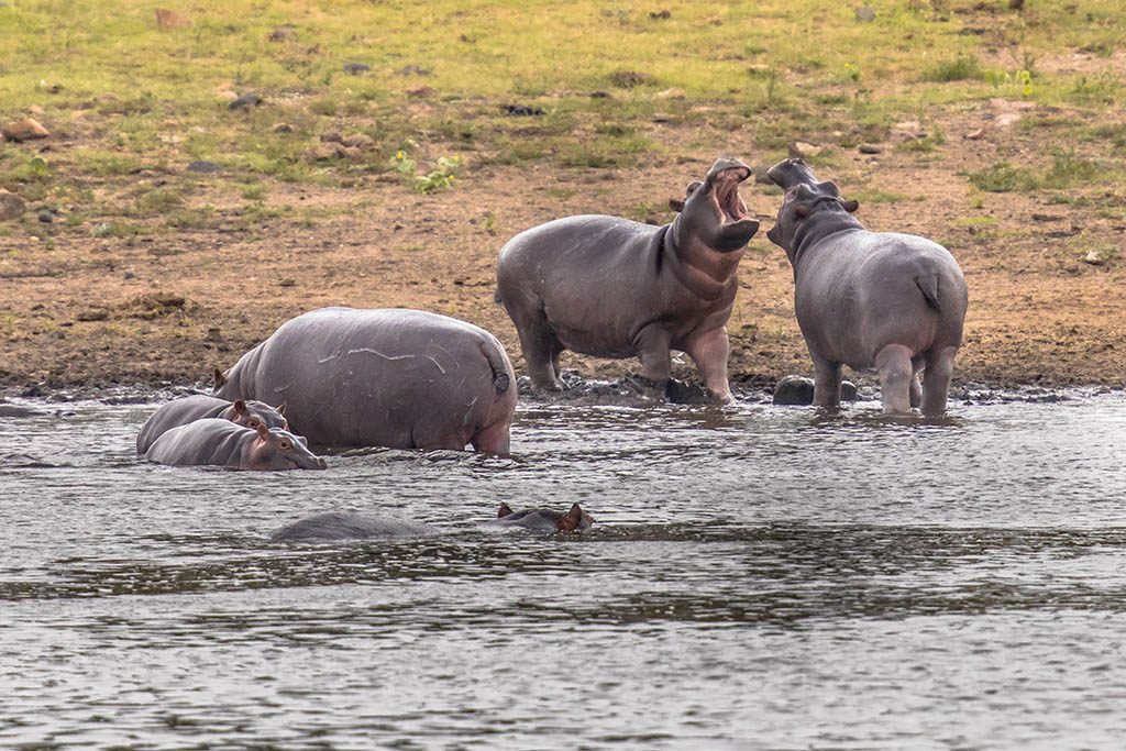 Hippopotamus or hippo swimming in water and arguing with each other in Kruger National park, South Africa