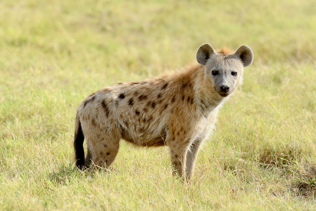 Lone Hyena