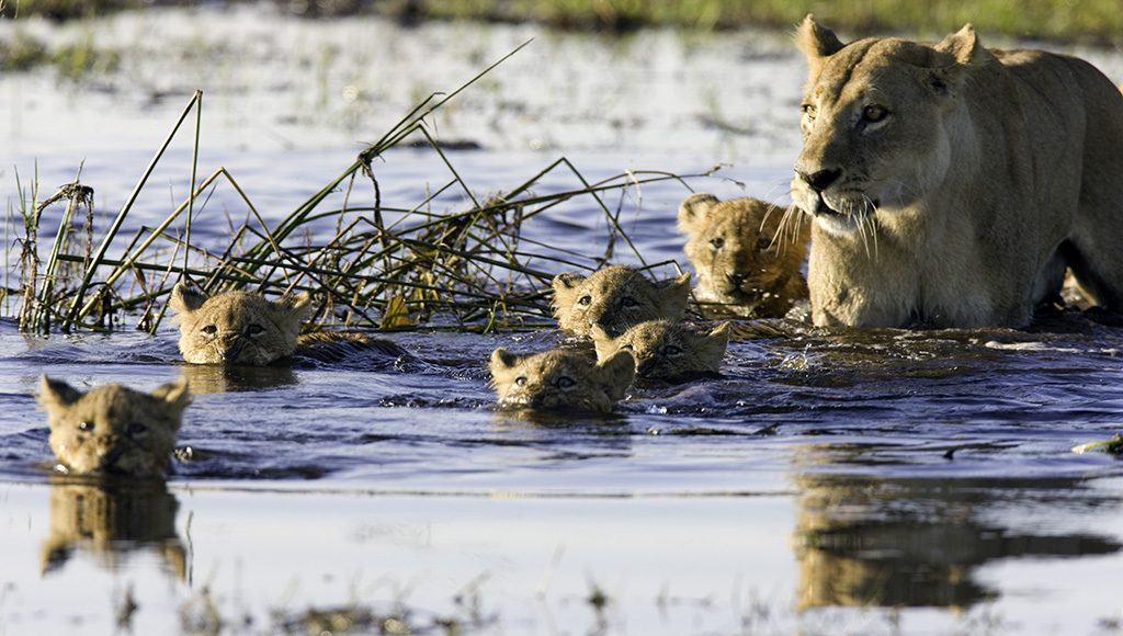 Litter of lion cubs swimming with their mother
