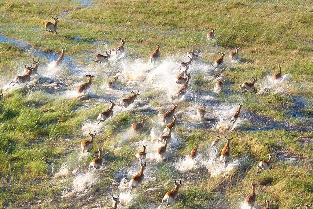 Herd of impala escapaing in the delta of okavango