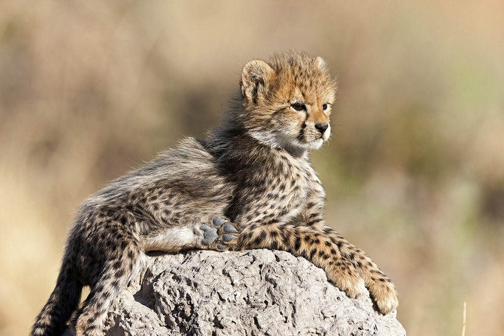 Cheetah Cub Taken in the Okavango, Botswana