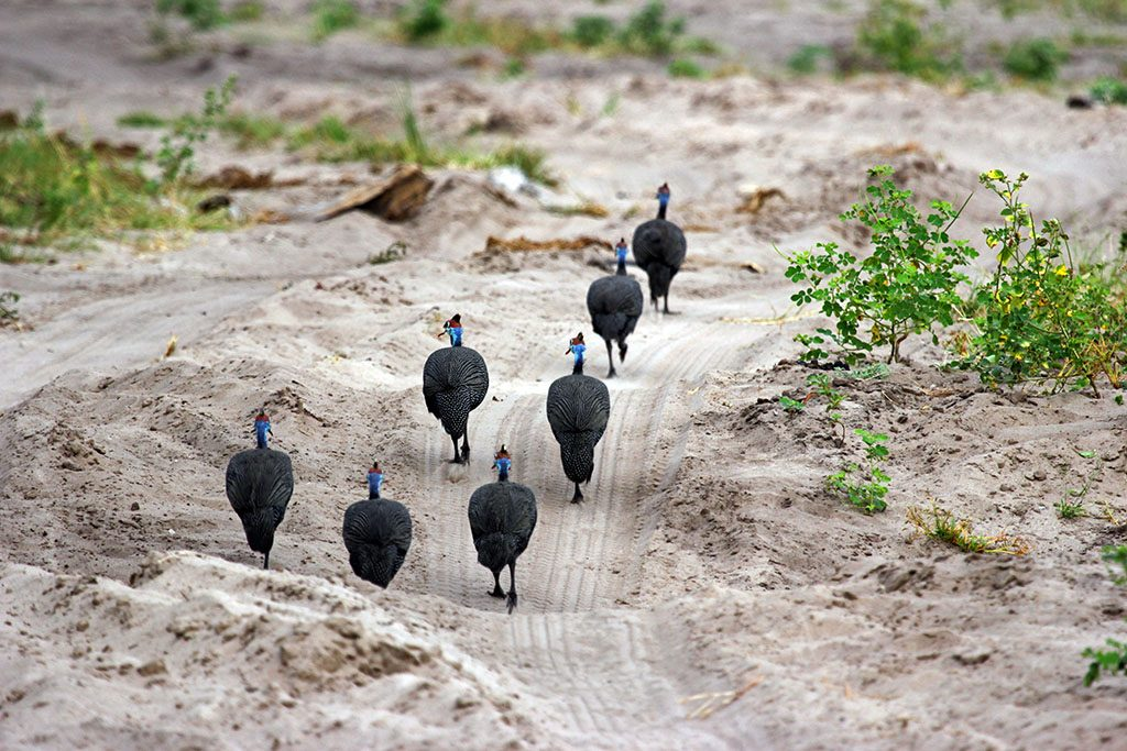 A group of Guineafowl walking along the dirt road at Chobe National Park.