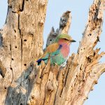 Lilac-breated Roller, Savuti National Park,