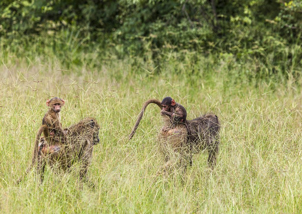 Baboons riding on their mother's backs through long grass. The left hand baby is the main focus and is looking at the camera. The other baby is holding onto its mum's tail and eating.