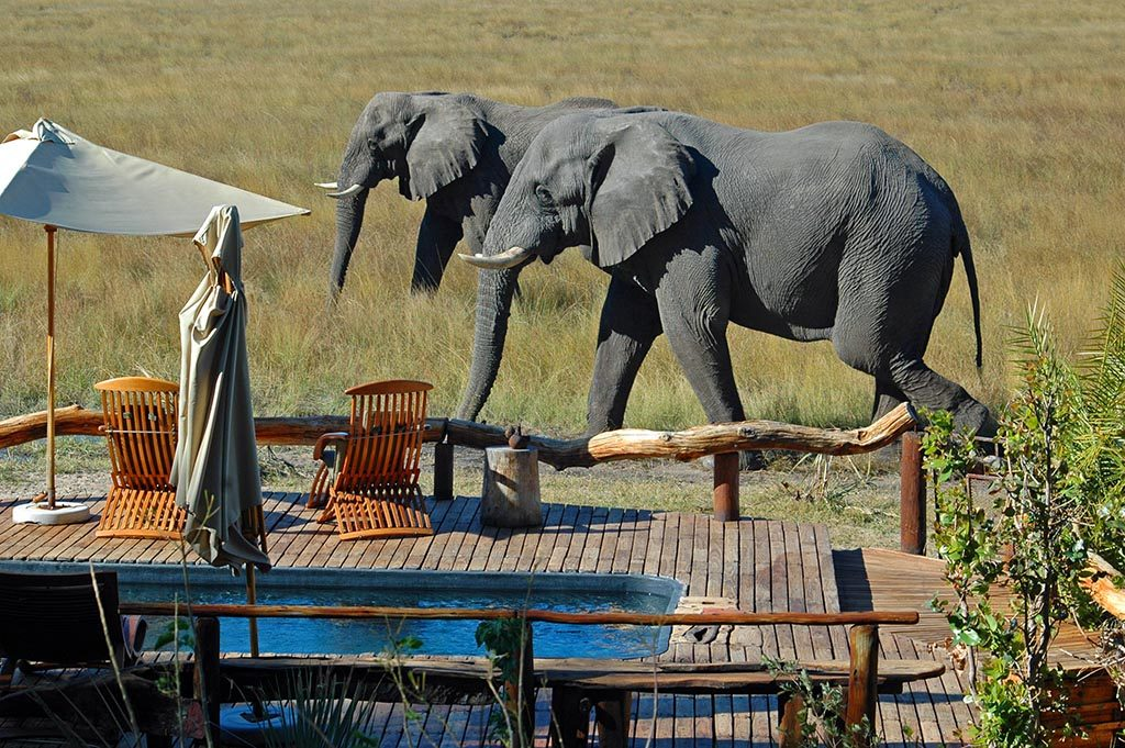 Two African Elephants walk past in the Okavango Delta, Botswana
