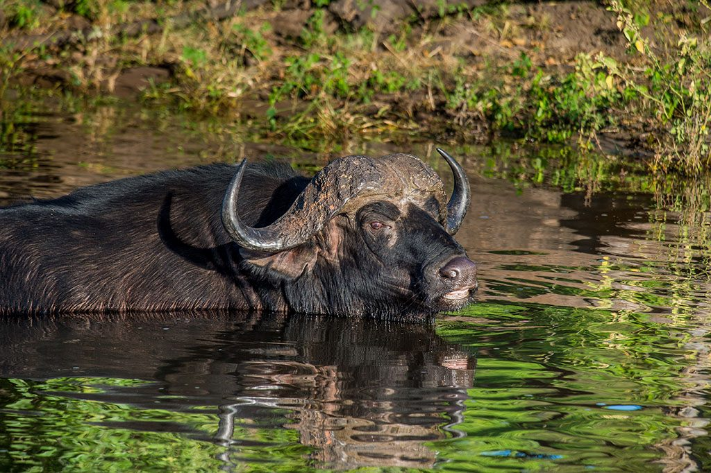 cA full-grown African buffalo wading in the Chobe River Chobe National Park