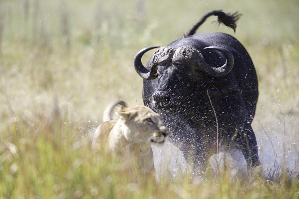 Buffalo attacks female lion