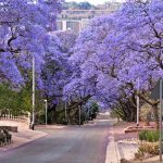 """jacaranda trees lining the street in Pretoria, South Africa, purple bloom in October,with government Union buildings in the distance"""
