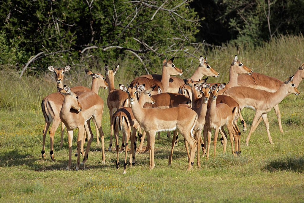 A herd of impala antelope