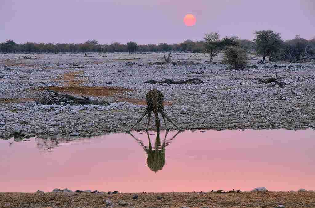 Giraffe drinking in a waterhole