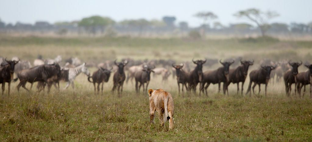 Lioness and herd of wildebeest at the Serengeti National Park, Tanzania, Africa