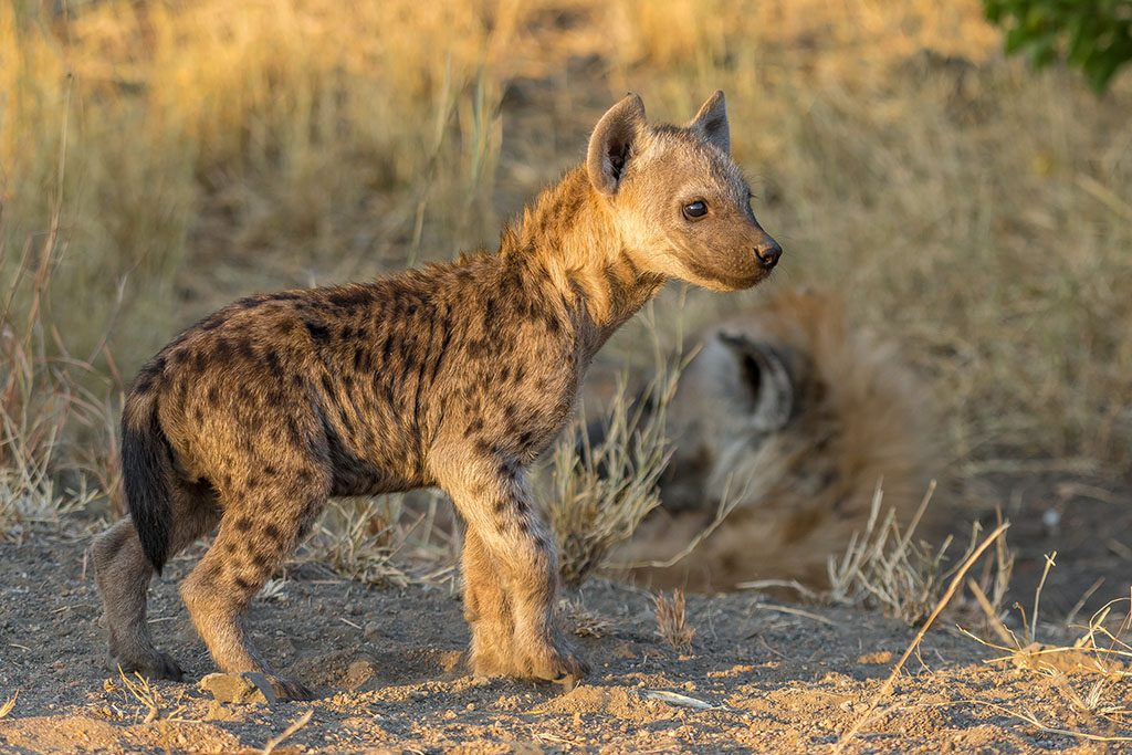 A spotted hyena cub at sunset