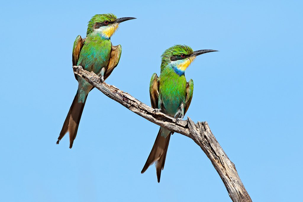 Swallow-tailed bee-eater perched on a branch